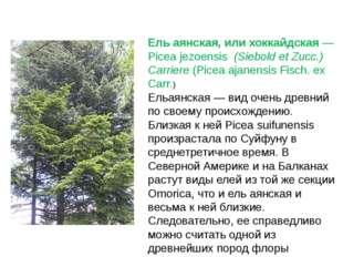 Ель аянская, или хоккайдская— Picea jezoensis(Siebold et Zucc.) Carriere(