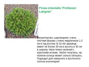 Picea orientalis 'Professor Langner' миниатюрная, шаровидная, очень плотная