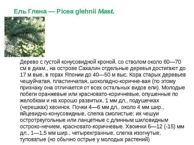 Ель Глена— Picea glehniiMast. Дерево с густой конусовидной кроной, со ствол...