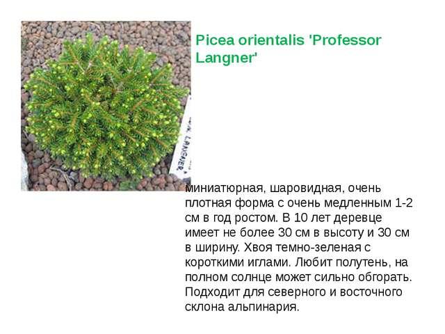 Picea orientalis 'Professor Langner' миниатюрная, шаровидная, очень плотная...