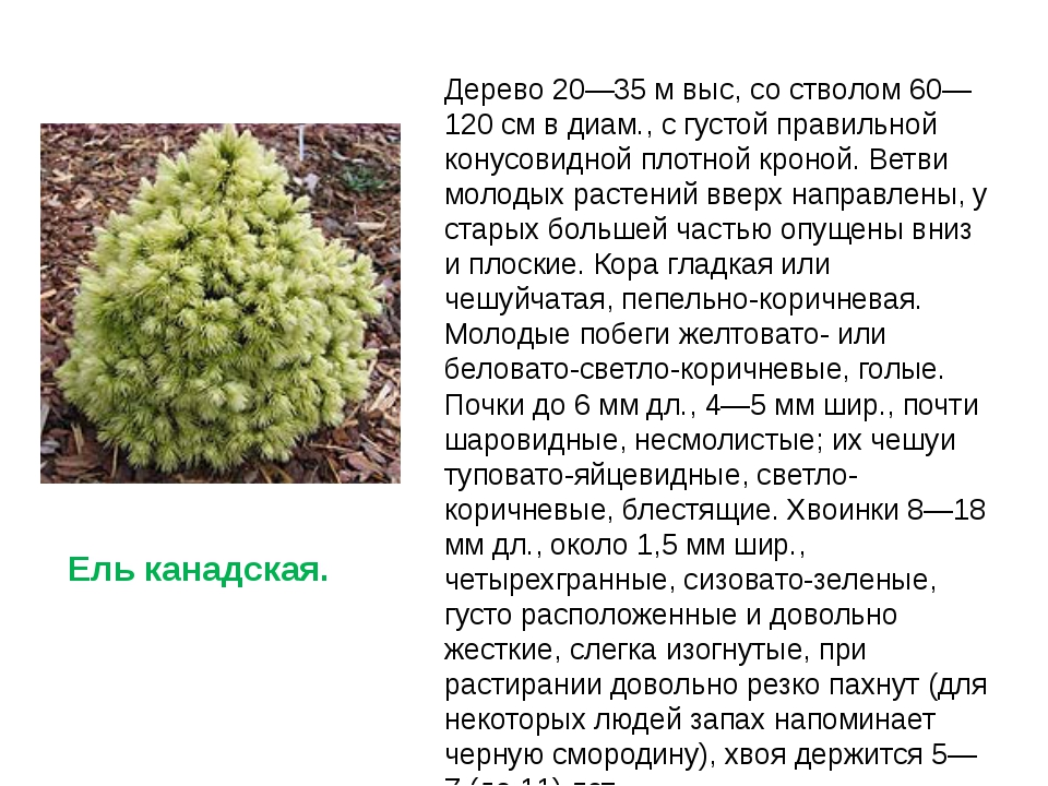 Дерево 20—35 м выc, со стволом 60—120 см в диам., с густой правильной конусов...