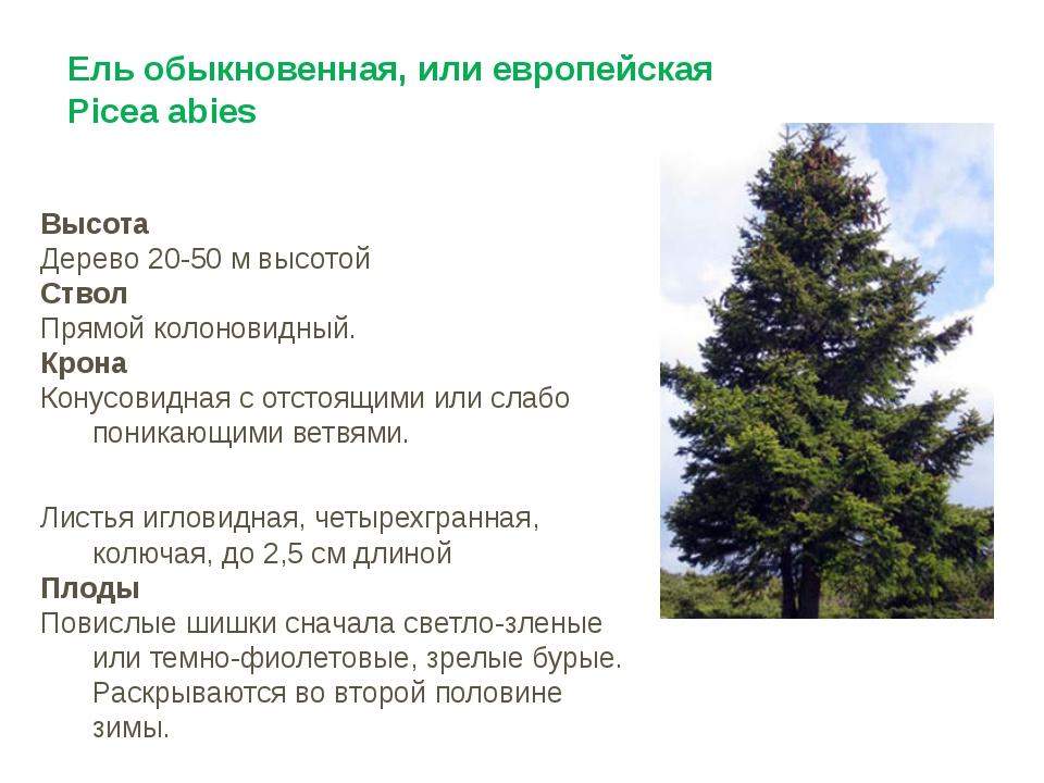Ель обыкновенная, или европейская Picea abies Высота Дерево 20-50 м высотой С...