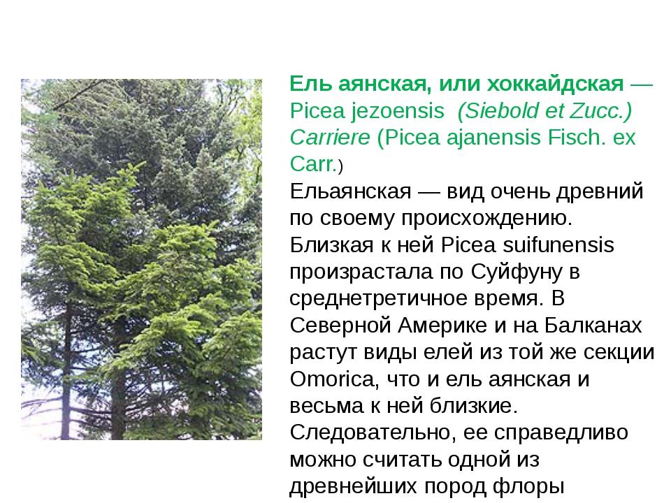 Ель аянская, или хоккайдская— Picea jezoensis(Siebold et Zucc.) Carriere(...