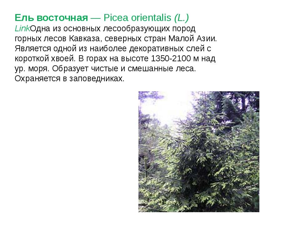 Ель восточная— Picea orientalis(L.) LinkОдна из основных лесообразующих пор...