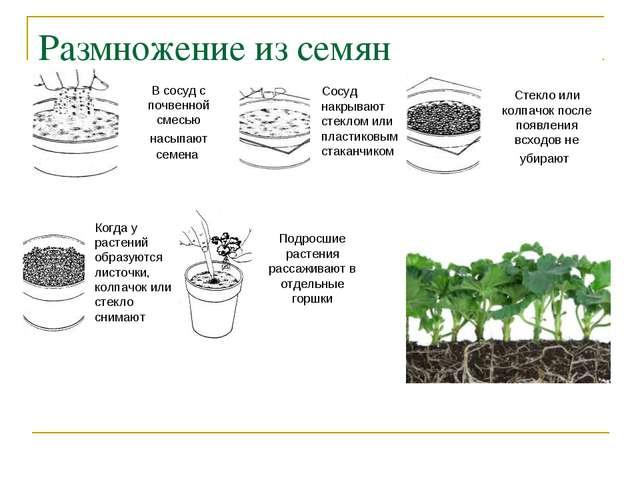 Размножение из семян В сосуд с почвенной смесью насыпают семена Сосуд накрыва...
