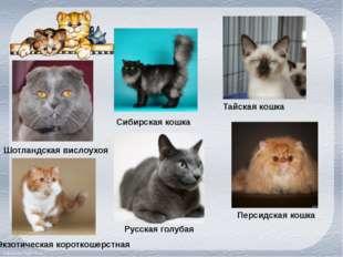 Шотландская вислоухоя Сибирская кошка Тайская кошка Экзотическая короткошерст
