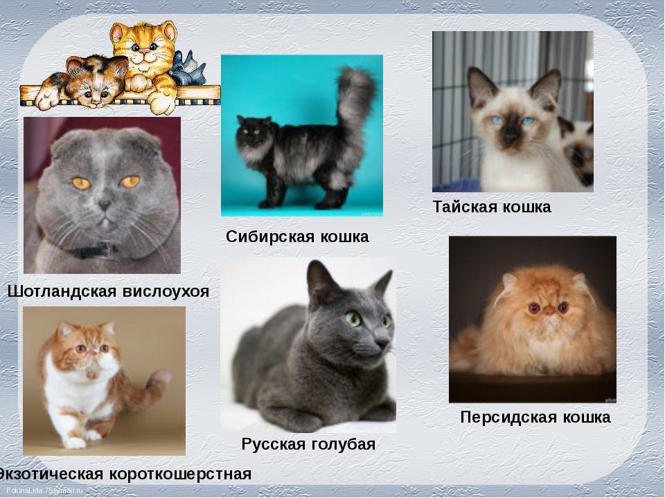 Шотландская вислоухоя Сибирская кошка Тайская кошка Экзотическая короткошерст...