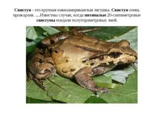 Свистун - это крупная южноамериканская лягушка. Свистун очень прожорлив. …Изв