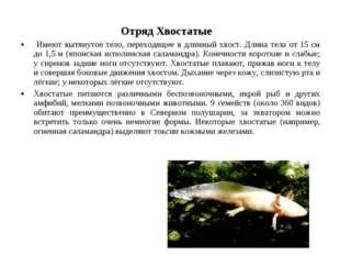 Отряд Хвостатые Имеют вытянутое тело, переходящее в длинный хвост. Длина тел
