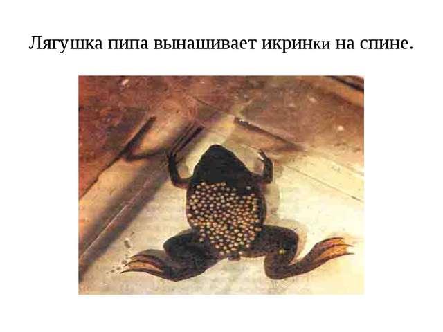 Лягушка пипа вынашивает икринки на спине.