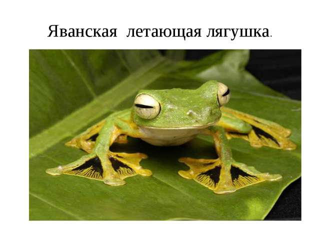 Яванская летающая лягушка.
