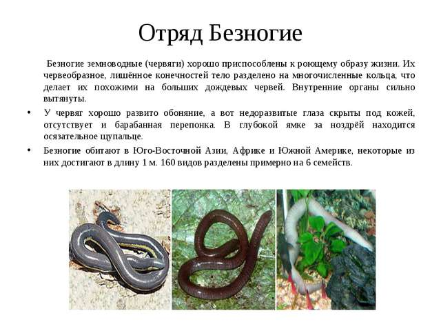 Отряд Безногие Безногие земноводные (червяги) хорошо приспособлены к роющему...