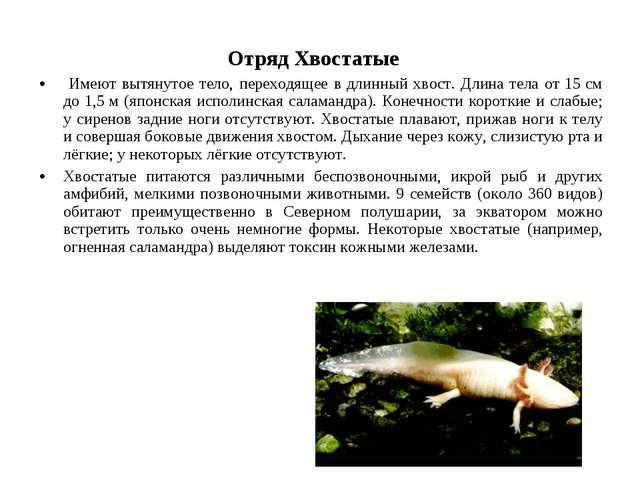 Отряд Хвостатые Имеют вытянутое тело, переходящее в длинный хвост. Длина тел...