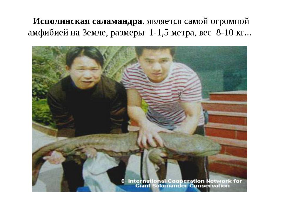 Исполинская саламандра, является самой огромной амфибией на Земле, размеры 1-...