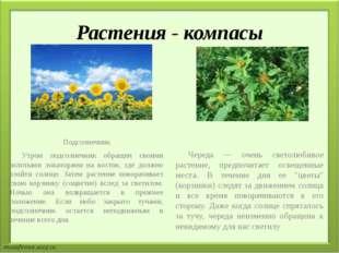 Растения - компасы Подсолнечник Утром подсолнечник обращен своими золотыми л