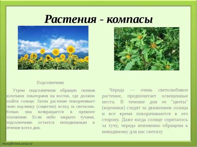 Растения - компасы Подсолнечник Утром подсолнечник обращен своими золотыми л...
