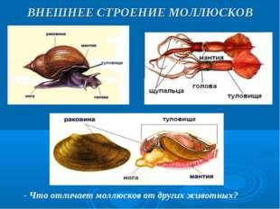 ВНЕШНЕЕ СТРОЕНИЕ МОЛЛЮСКОВ - Что отличает моллюсков от других животных?