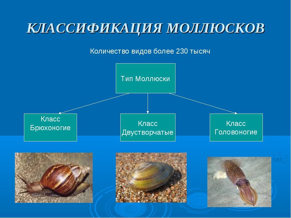 КЛАССИФИКАЦИЯ МОЛЛЮСКОВ Количество видов более 230 тысяч Тип Моллюски Класс Б...
