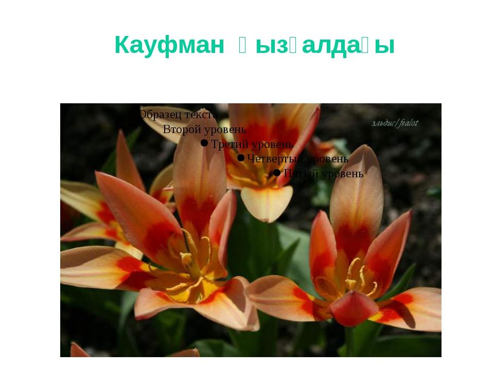 Кауфман қызғалдағы