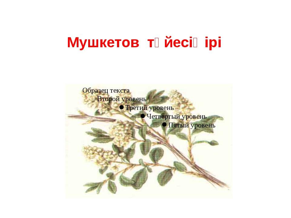 Мушкетов түйесіңірі