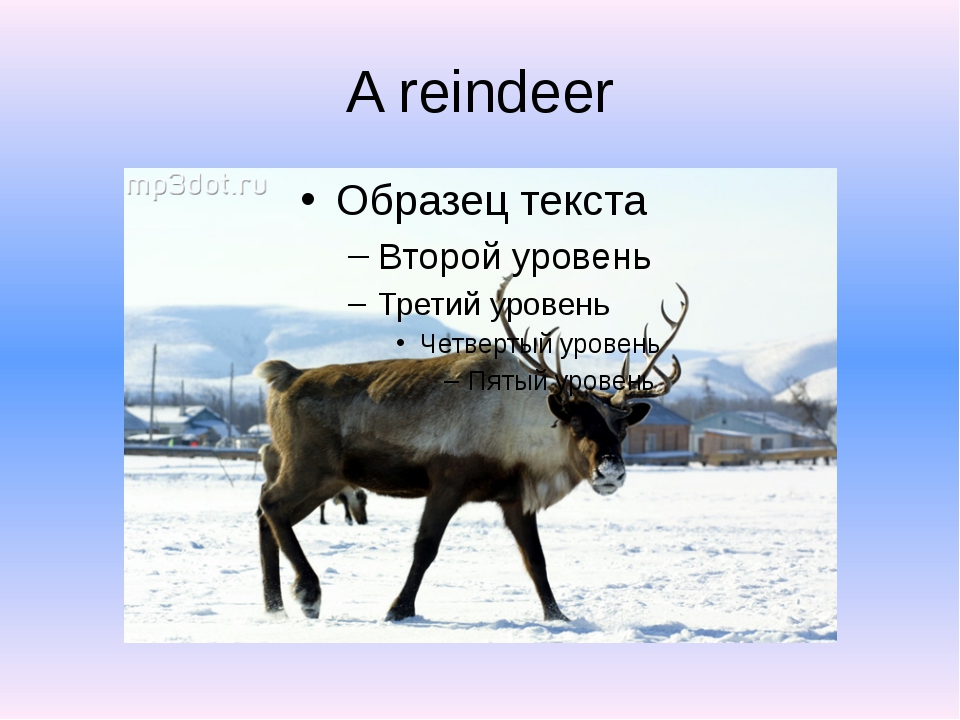 A reindeer