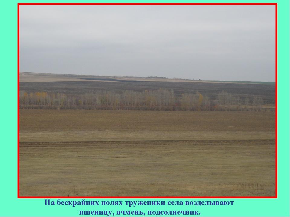 На бескрайних полях труженики села возделывают пшеницу, ячмень, подсолнечник.