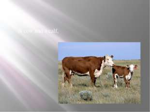 A cow and a calf,