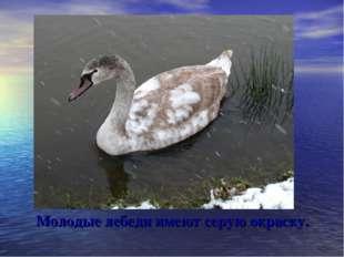 Молодые лебеди имеют серую окраску.