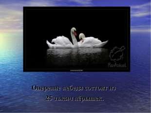 Оперение лебедя состоит из 25 тысяч пёрышек.