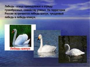 Лебедь - птица принадлежит к отряду гусеобразных, семейству утиных. На террит