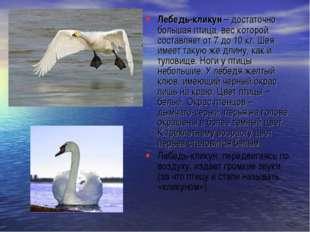 Лебедь-кликун– достаточно большая птица, вес которой составляет от 7 до10 к