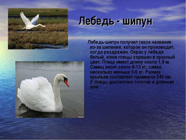 Лебедь - шипун Лебедь-шипун получил такое название из-за шипения, которое он...