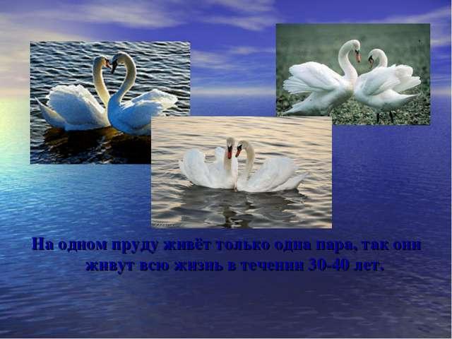 На одном пруду живёт только одна пара, так они живут всю жизнь в течении 30-4...