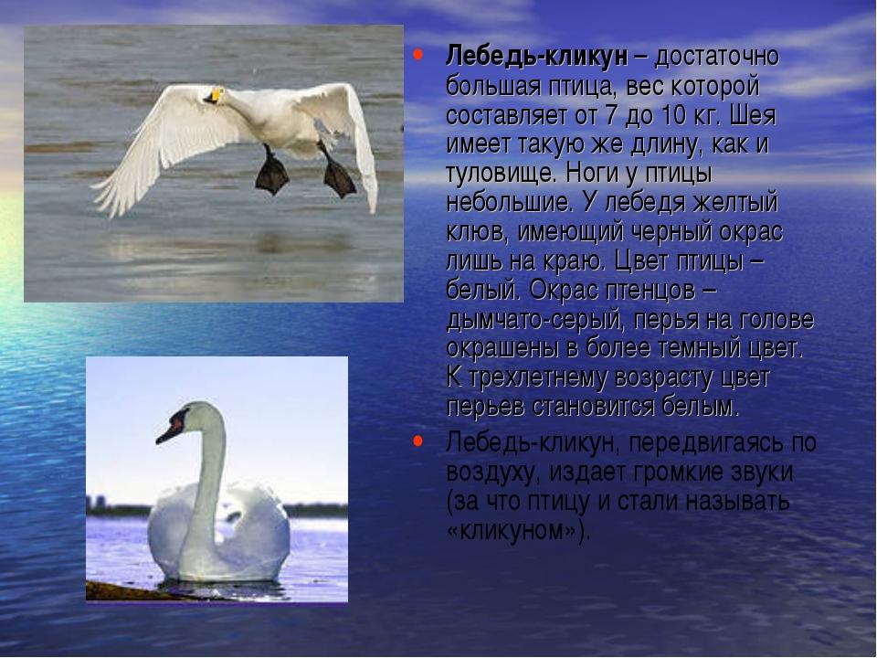 Лебедь-кликун– достаточно большая птица, вес которой составляет от 7 до10 к...