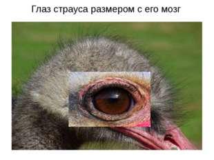 Глаз страуса размером с его мозг http://www.zoopicture.ru/assets/2010/08/2288