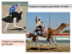 Скорость страуса достигает 70 км/ч Скорость верблюда – до 25 км/ч http://anim