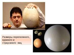 Размеры перепелиного, куриного и страусиного яиц http://t1.gstatic.com/images