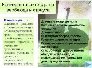 Конвергентное сходство верблюда и страуса Конвергенция - схождение признаков