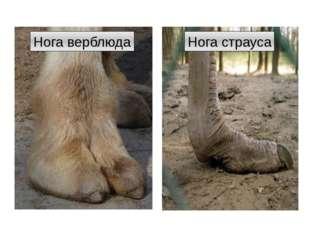 Нога верблюда Нога страуса http://t1.gstatic.com/images?q=tbn:ANd9GcRD68v-EBJ