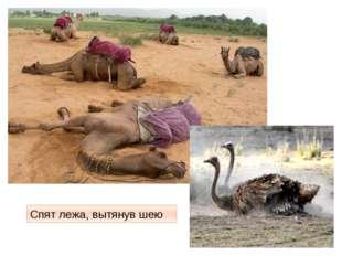 Спят лежа, вытянув шею http://img11.nnm.ru/6/b/a/f/7/b0e0e48ed2ff1aadd350e351