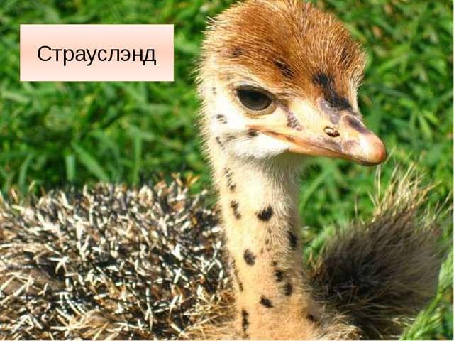 Страуслэнд http://www.ostrich.dp.ua/images/IMG_8980_s-4473a.jpg Птенец