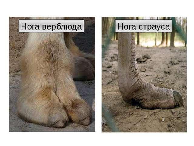 Нога верблюда Нога страуса http://t1.gstatic.com/images?q=tbn:ANd9GcRD68v-EBJ...