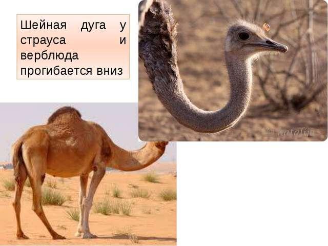 Шейная дуга у страуса и верблюда прогибается вниз http://t2.gstatic.com/imag...