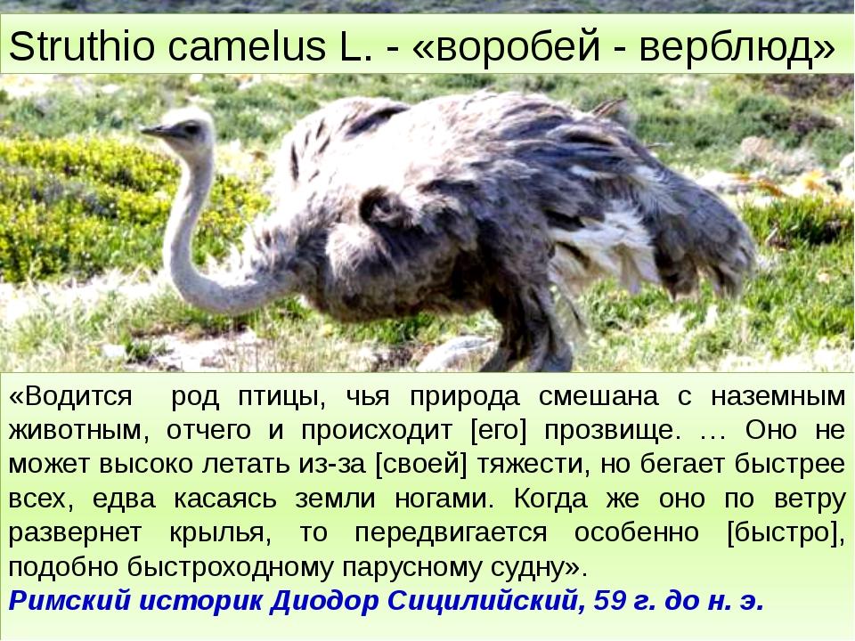 Struthio camelus L. - «воробей - верблюд» «Водится род птицы, чья природа см...
