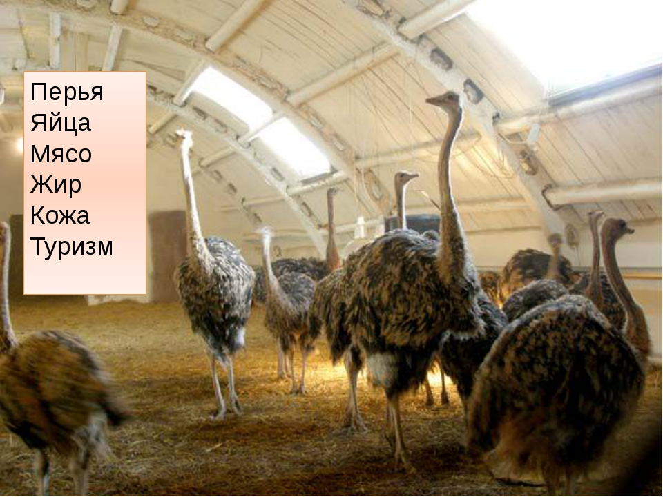 Перья Яйца Мясо Жир Кожа Туризм http://fermer.by/kfh/straus/straus3.jpg ферма...