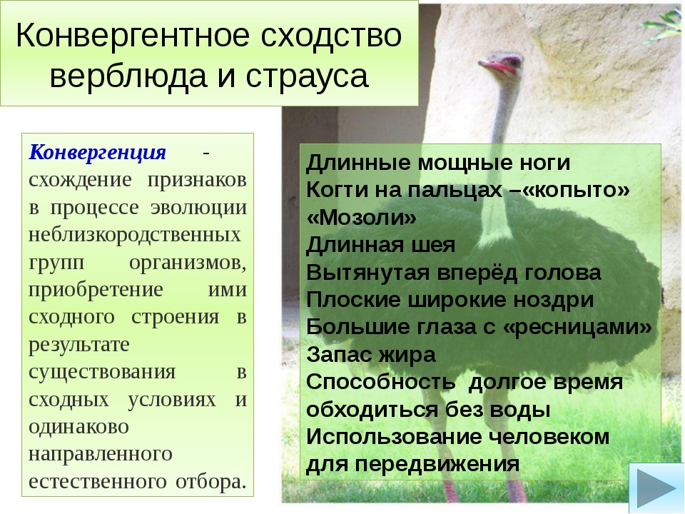 Конвергентное сходство верблюда и страуса Конвергенция - схождение признаков...