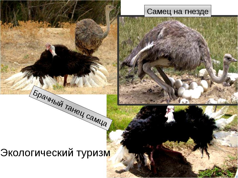 Брачный танец самца Самец на гнезде Экологический туризм http://img12.nnm.ru/...