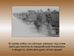 Во время войны на собачьих упряжках под огнем врага доставляли на передний кр