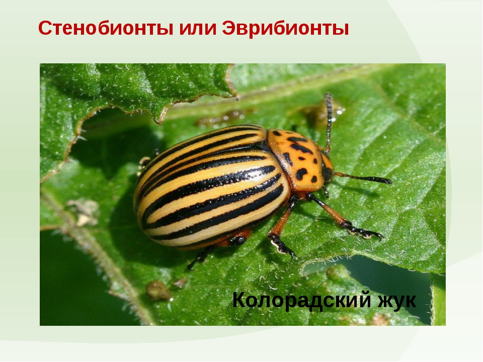 Стенобионты или Эврибионты Колорадский жук