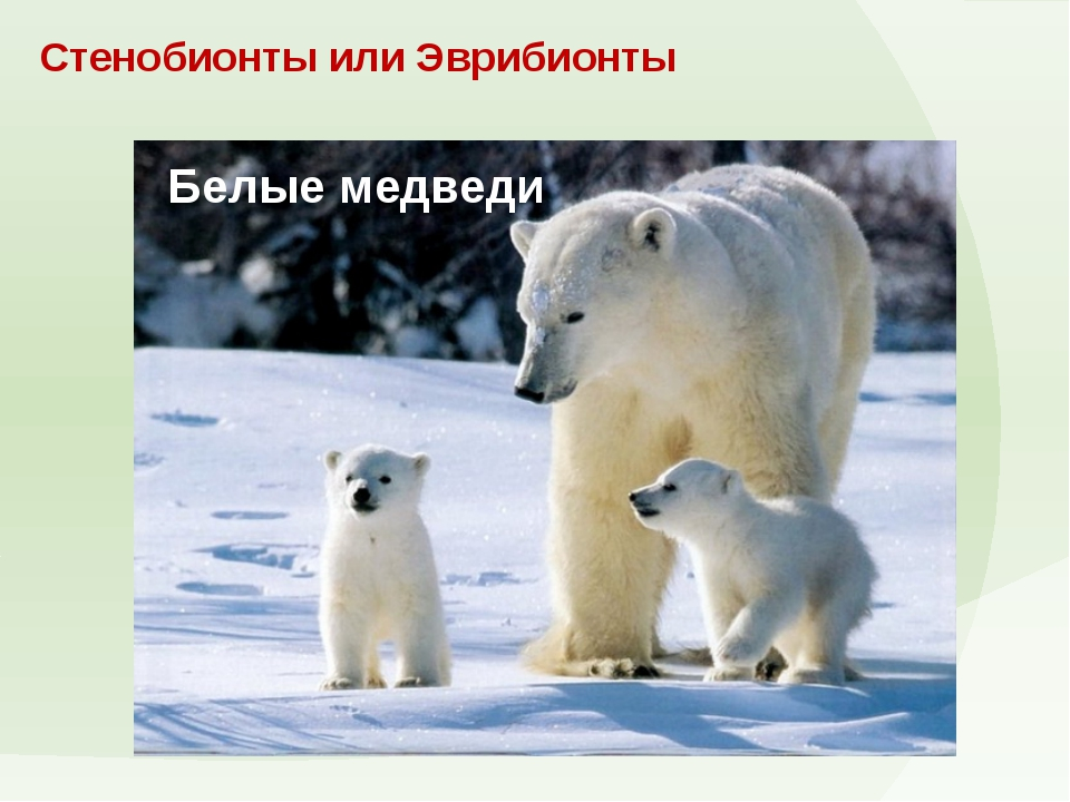 Стенобионты или Эврибионты Белые медведи